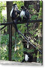 Colobus Monkeys Picking Fleas Acrylic Print