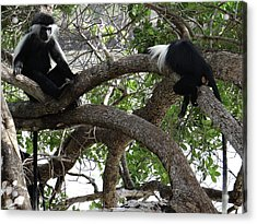 Colobus Monkeys Sitting In A Tree Acrylic Print