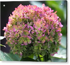 Color-changing Little Lime Hydrangea Acrylic Print by Rona Black