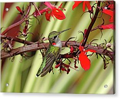 Color Coordinated Hummer Acrylic Print by Debbie Oppermann