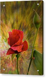 Color Explosion - Rose - Floral Acrylic Print by Barry Jones