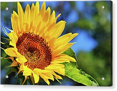 Color Me Happy Sunflower Acrylic Print