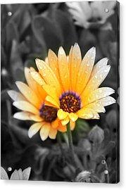 Color My Petals Acrylic Print