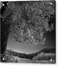 Colorado Aspen Black And White Acrylic Print by Dave Dilli