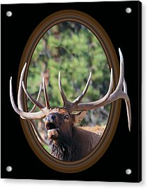 Acrylic Print featuring the photograph Colorado Bull Elk by Shane Bechler