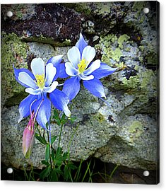 Acrylic Print featuring the photograph Colorado Columbines by Karen Shackles