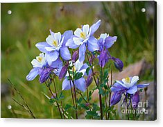 Acrylic Print featuring the photograph Colorado Columbines by Kate Avery