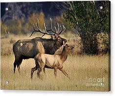 Colorado Elk  Acrylic Print by Nava Thompson