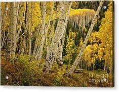 Colorado Fall Aspen Grove Acrylic Print