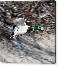 Colorado Mallard In Flight Acrylic Print