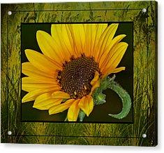 Colorado Sunflower Acrylic Print