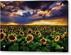 Colorado Sunflowers At Sunset Acrylic Print