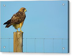 Acrylic Print featuring the photograph Colorado Swainson's Hawk Perched by John De Bord