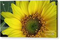Colorado Wildflower Sunshine  Acrylic Print