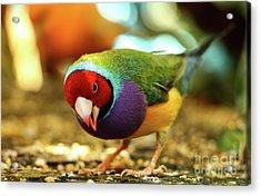 Colorful Bird Acrylic Print