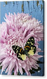 Colorful Butterfly On Pink Mum Acrylic Print