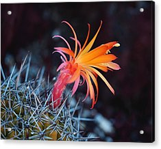 Colorful Cactus Flower Acrylic Print by Rona Black