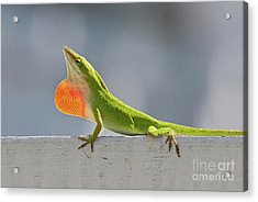 Colorful Carolina Anole Lizard Acrylic Print