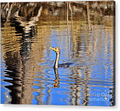 Acrylic Print featuring the photograph Colorful Cormorant by Al Powell Photography USA