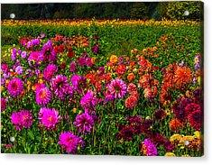 Colorful Dahlias Oregon Acrylic Print