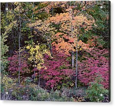 Colorful Fall Foliage Acrylic Print by Rona Black