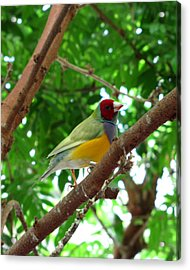 Colorful Finch Acrylic Print by George Jones