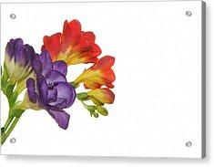 Colorful Freesias Acrylic Print by Elvira Ladocki