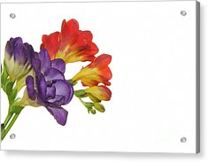 Colorful Freesias Acrylic Print
