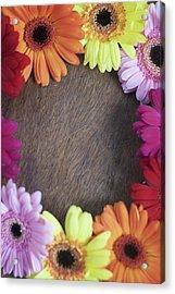Colorful Gerbera Daisies In A Circle Acrylic Print