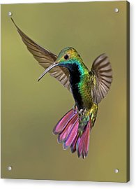 Colorful Humming Bird Acrylic Print