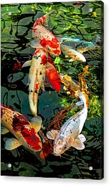 Colorful  Japanese Koi Fish Acrylic Print