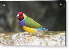 Colorful Lady Gulian Finch  Acrylic Print by Penny Lisowski