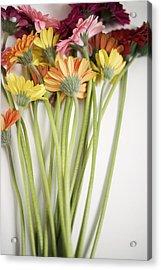 Colorful Long Stemmed Gerbera Daisies Acrylic Print