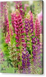Colorful Lupine Acrylic Print