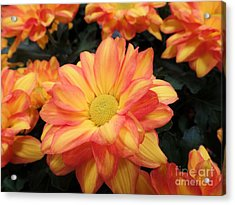 Acrylic Print featuring the photograph Colorful Mums by Ray Shrewsberry