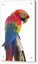 Colorful Parrot Isolated In White Background Acrylic Print by Anek Suwannaphoom