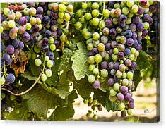Colorful Red Wine Grape Acrylic Print by Teri Virbickis
