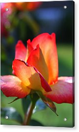 Colorful Rose Acrylic Print by Donald Tusa