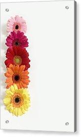 Colorful Row Of Gerbera Daisies Acrylic Print