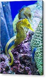 Colorful Seahorses Acrylic Print