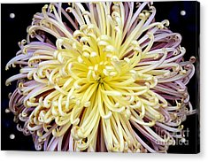 Colorful Spider Chrysanthemum   Acrylic Print