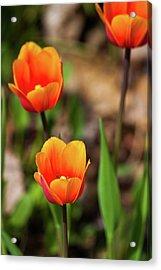 Colorful Tulips Acrylic Print by Karol Livote
