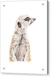 Acrylic Print featuring the drawing Colour Meerkat by Elizabeth Lock
