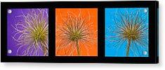 Colourful Crocus Triptych Acrylic Print by Lisa Knechtel