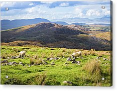 Colourful Undulating Irish Landscape In Kerry With Grazing Sheep Acrylic Print by Semmick Photo