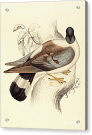 Columba Leuconota, Snow Pigeon Acrylic Print by Elizabeth Gould