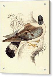 Columba Leuconota, Snow Pigeon Acrylic Print