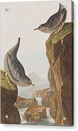Columbian Water Ouzel Or Arctic Water Ouzel Acrylic Print by John James Audubon