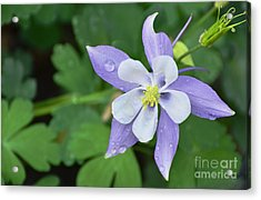 Columbine After A Shower Acrylic Print