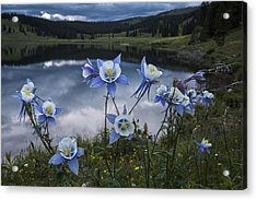 Columbine Blooms In The Rocky Mountains Acrylic Print